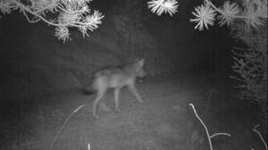 Imagen nocturna del lobo captada por una cámara en el Pirineo, facilitad por la Conselleria de Territori i Sostenibilitat.