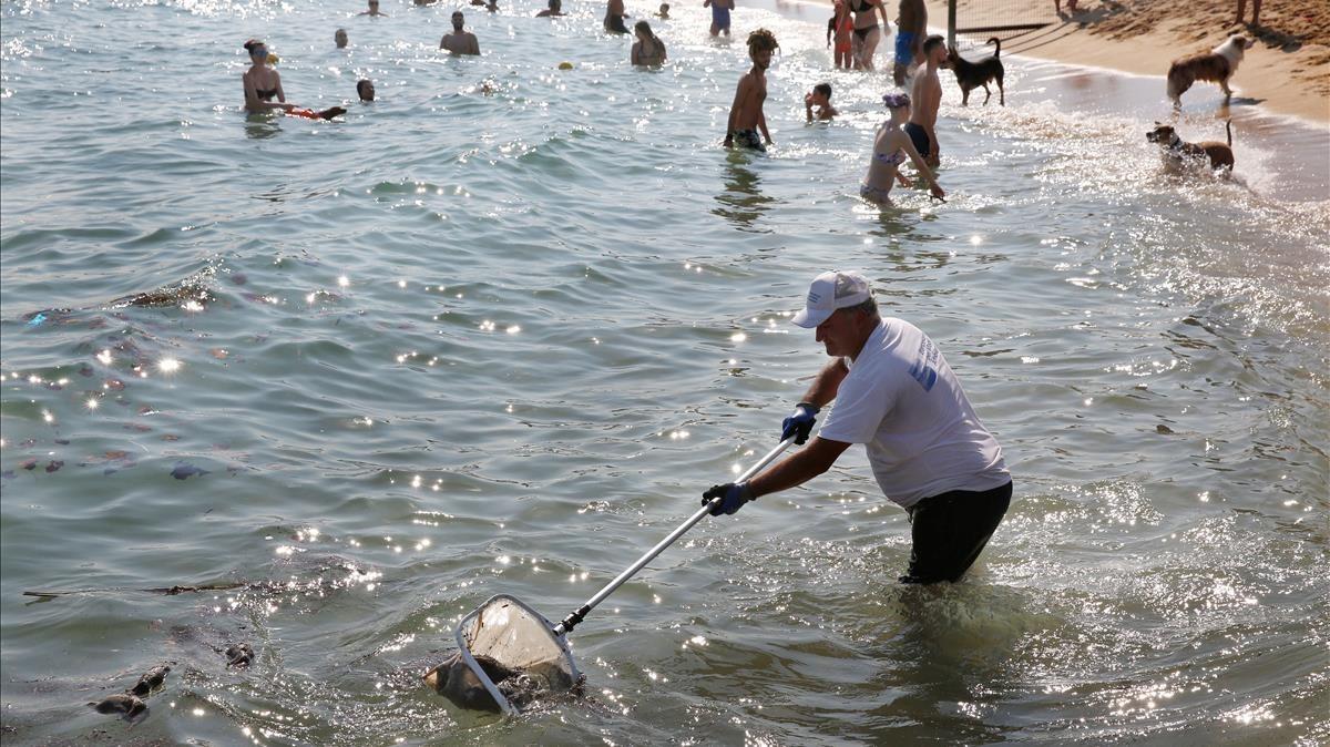 Un operario retira ratas muertas que flotan en el agua en la playa de Llevant.