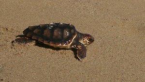 Neixen les primeres 17 tortugues careta del niu de la platja de Premià de Mar