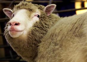 Els clons de l'ovella Dolly envelleixen amb bona salut