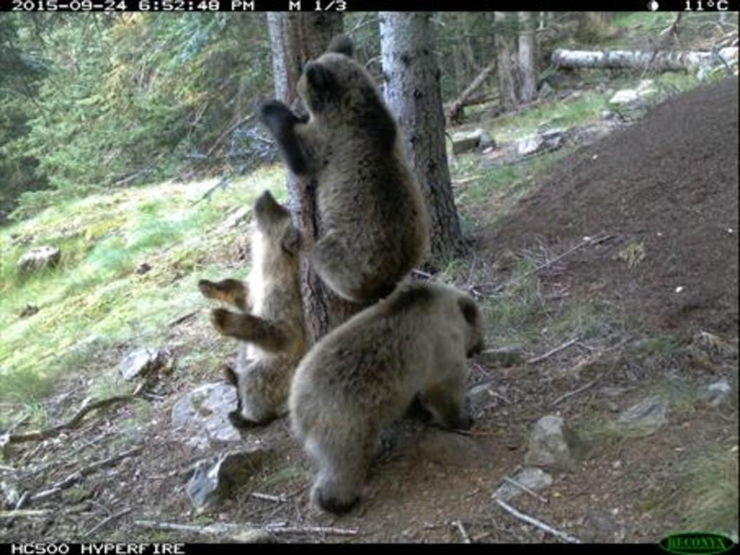 Cachorros de oso en el parque natural del Alt Pirineu, en Lladorre, en septiembre del 2015.