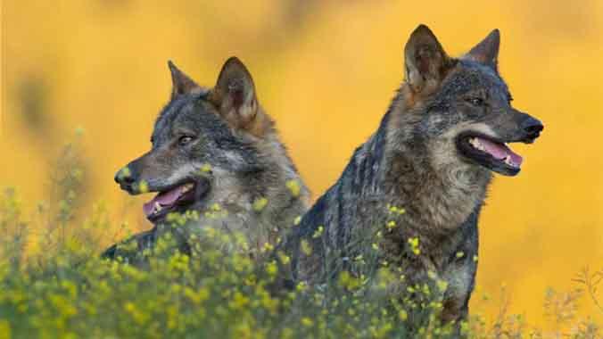 'Barbacana': ganaderos y lobos