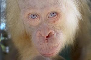 Hembra 8El orangután de Borneo rescatado en un aldea de la provincia indonesia de Kalimantan Central.
