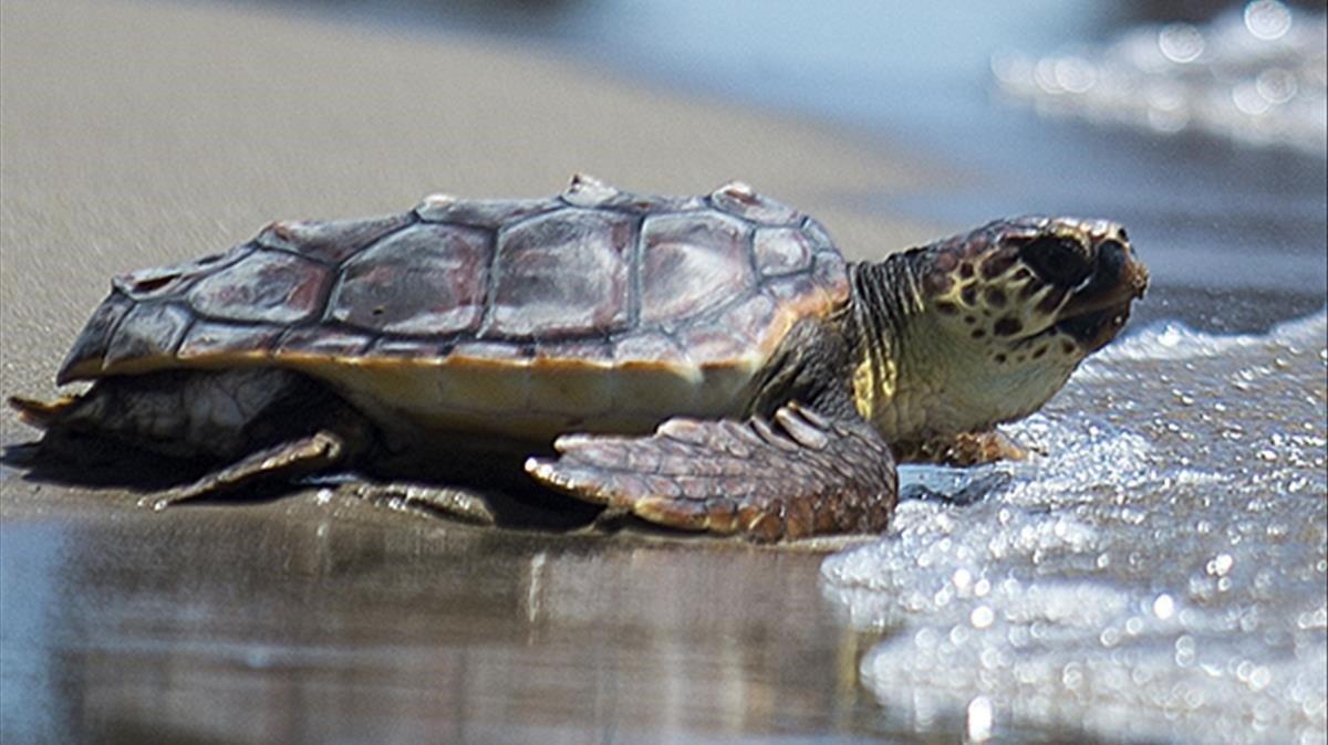 Una tortuga Coco regresa al mar, dentro del programa para la recuperación de la tortuga boba en el Mediterraneo.