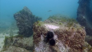 Restos del pantalán de la central térmica de Sant Adrià de Besos, que datan de 1913, cubiertos de algas y erizos.