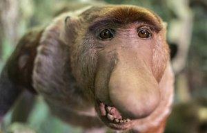 Un mono narigudo, especie en peligro porque una absurda creencia médica atribuye propiedades curativas a unas calcificaciones de su intestino.