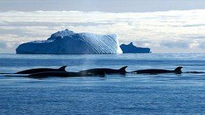Varias ballenas nadan en aguas del océano Antártico.