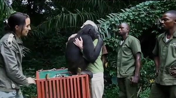 La chimpancé Wounda se abraza a su cuidadora Jane Goodall cuando la liberan en la selva congoleña