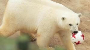 Nika, la osa polar que predice los resultados de la Copa Confederaciones.