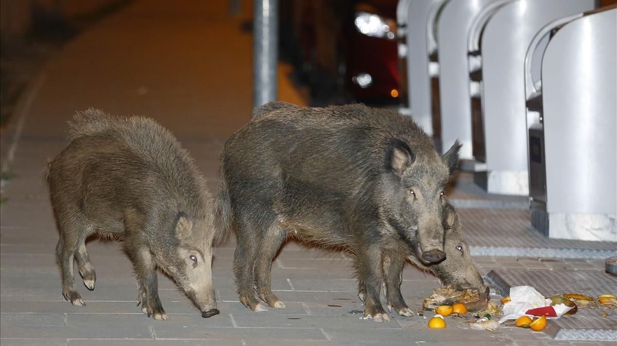 Barcelona idea un pla per evitar que els senglars baixin als barris