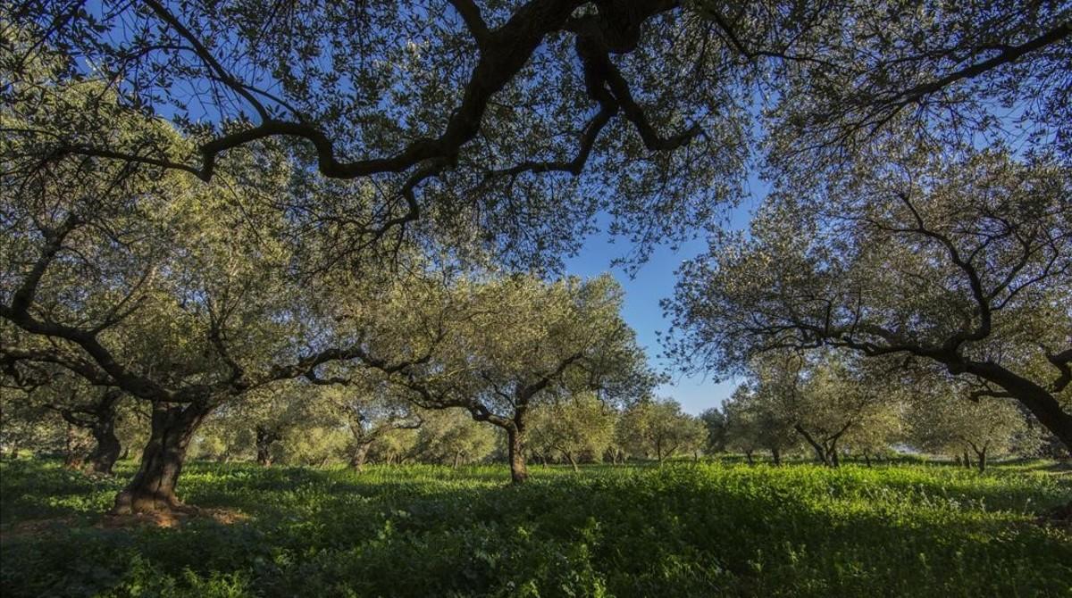 Campo de olivos en el norte de la provincia de València.