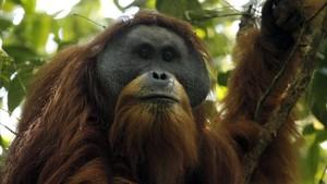 Un ejemplar machode orangután de Tapanuli oPongo tapanuliensisen las selvas de Batang Toru, en la isla indonesia de Sumatra.