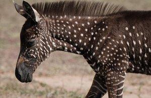 Albirada una zebra amb pics en una reserva de Kenya