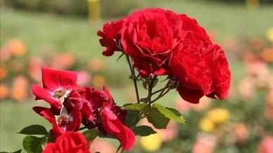 El genoma de la rosa