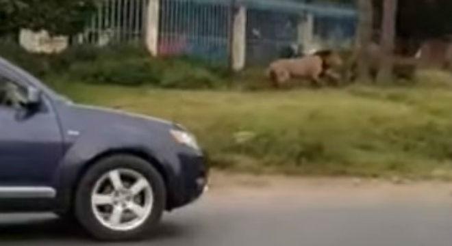 Un lleó pels carrers de Nairobi