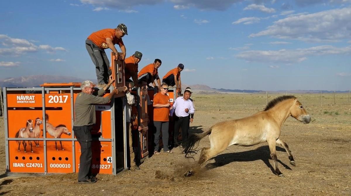 Liberación de uncaballo dePrzewalskidentro de un programa de preservación de la especie en el parque nacional Takhin, en Mongolia.