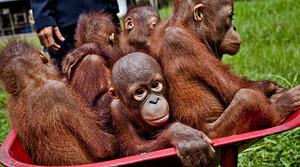 Crías de orangután, en un centro de conservación de Indonesia. El simio se halla en peligro de extinción en dos islas del país.