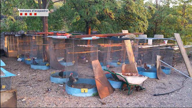 Imágenes cedidas por los Mossos dEsquadra de las jaulas donde tenían a los gallos.
