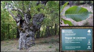 El nogal o 'noguer' de Llavaners, en el Pallars Sobirà.