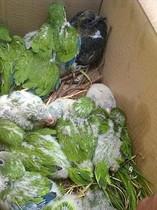 Los polluelos supervivientes a la destrucción del nido de cotorras del parque de La Marquesa guardados en cajas de cartón.