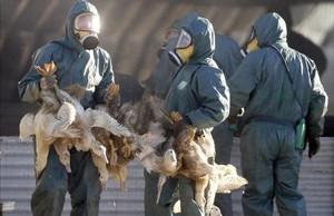 Sacrificio de patos en Francia.