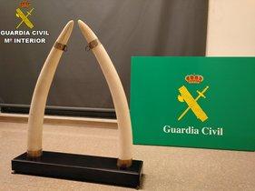 La Guardia Civil interviene en Sabadell dos colmillos de elefante.