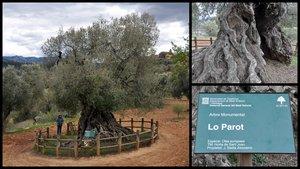 El olivo Lo Parot, en Horta de Sant Joan.