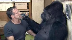 Robin Williams conversandocon Koko, una célebre hembra de gorilaque aprendió a comunicarse a través del lenguaje de signos.