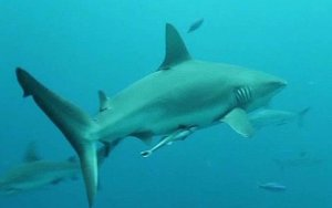 Un tiburón nadando en el fondo del mar.