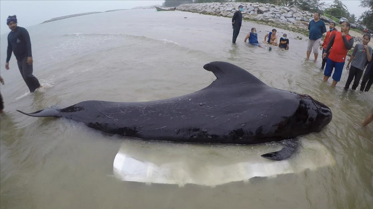 La ballena piloto, antes de morir.