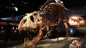 Trix, la reina dels tiranosaures, conquista CosmoCaixa