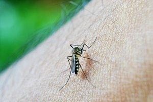 Aquesta cançó repel·leix el mosquit causant del dengue, el zika o la febre groga