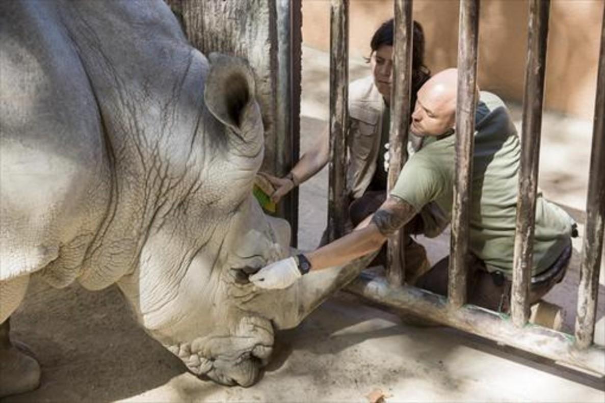 El rinoceronte Pedro, con dos técnicos del Zoo de Barcelona.