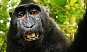 Elselfiedel macaco Naruto que ha desatado la batalla legal por los derechos de autor de los animales.