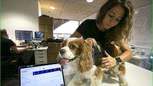 Talía Bonmantímuestra el chaleco que recoje las constantes vitaleslas mascotas, en la incubadora de Barcelona Activa donde trabaja el equipo de su start-up,Dinbeat.