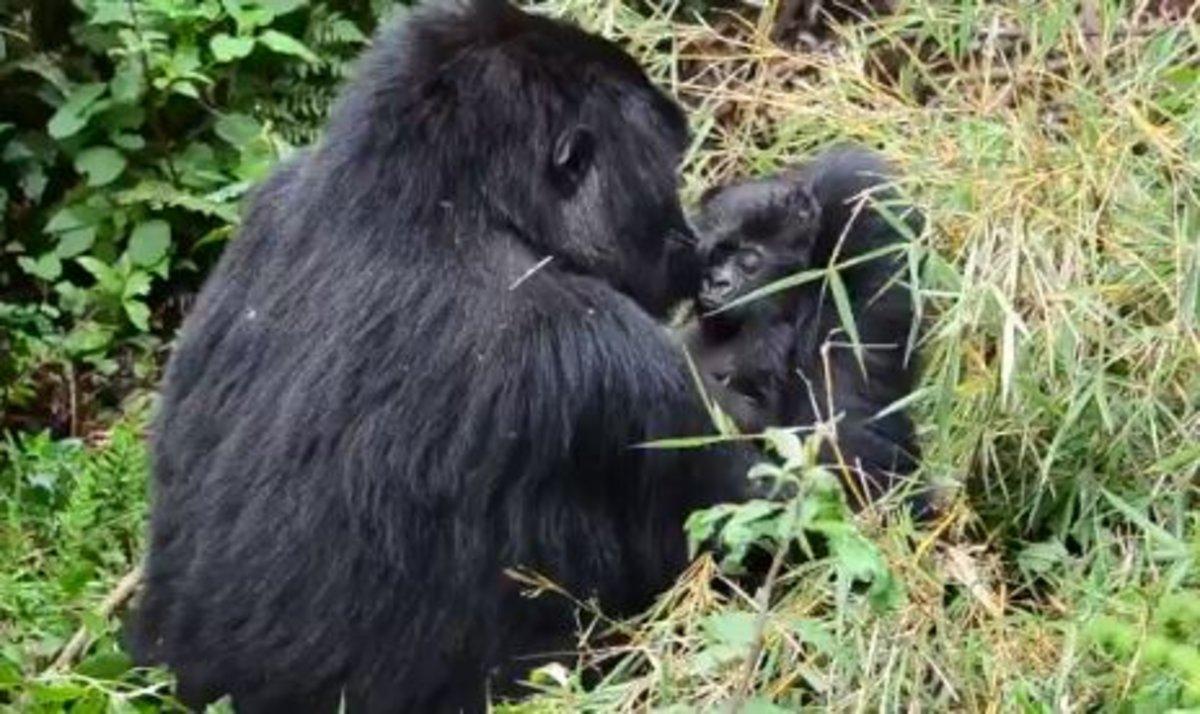 Los gorilas también velan los cadáveres: así reaccionan ante la muerte de otro