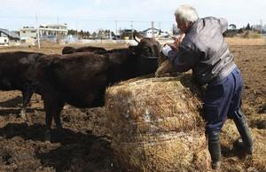 Un granger alimenta una vaca a la zona pròxima a Fukushima.