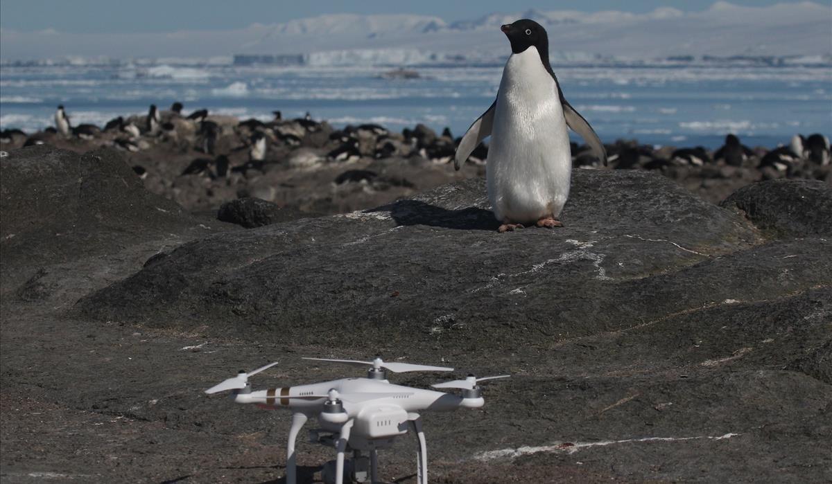 Trobats més d'1,5 milions de pingüins d'Adèlia a l'Antàrtida