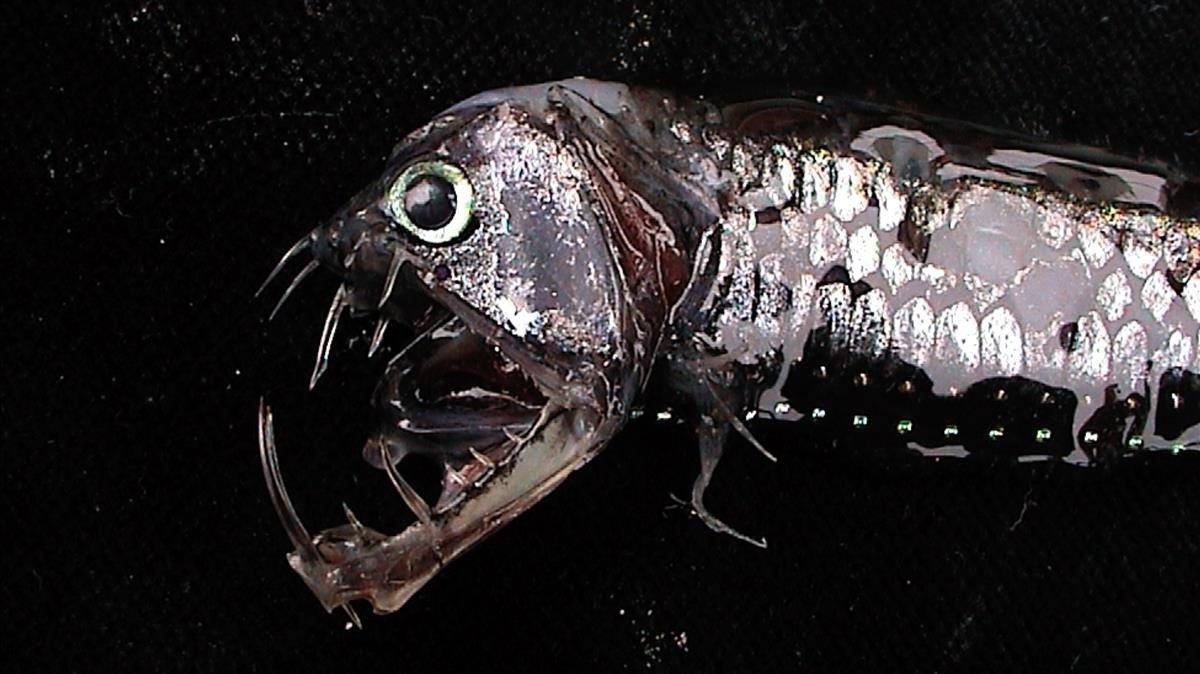 Ejemplar de pez abisal, en una imagen de archivo